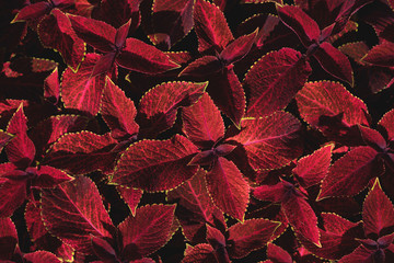 Coleus forskohlii leaves.