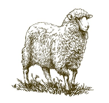 sketch of sheep drawn by hand. animal husbandry