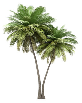 two coconut palm trees isolated on white background
