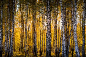 Birch forest in a sunny golden autumn day.
