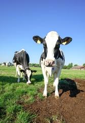 Fototapete - Wachsamme Kuh auf einer Weide