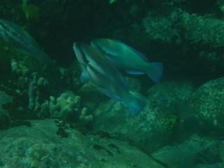 Photo sous-marine de poissons perroquet