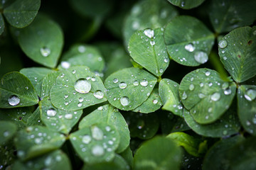 Close-up image of rain drops on three leaves clovers during a rainy day