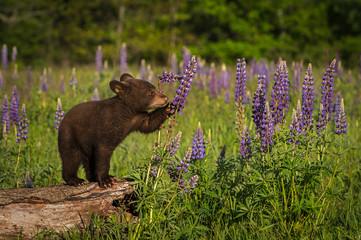 Black Bear Cub (Ursus americanus) Paws at Lupine Summer