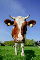 Fototapete - Rotbunte Kuh schaut neugierig in die Kammera
