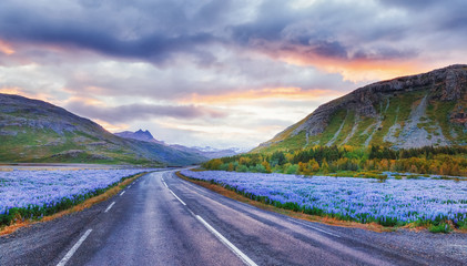 Classical Icelandic summer road trip view. Spectacular asphalt road in Iceland, rounded blooming fields of violet lupine, summertime in Iceland. Picturesque sunset landscape, travel background.