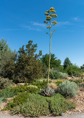 Parry's Agave Plant with Yellow Flowers in Xeriscape Garden
