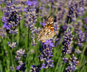 Closed Winged Painted Lady Butterfly on Lavender