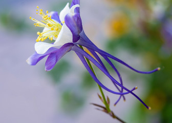 Solitary Purple and White Columbine with Soft Focus Background
