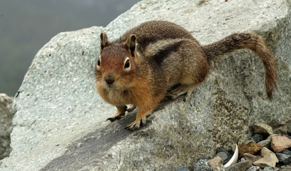 Anticipatory Chipmunk