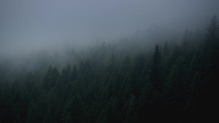 Wall Mural - Spruce Forest and the Foggy Weather.