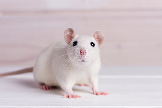 white rat on a white background, place for your text, the symbol of the Chinese New Year