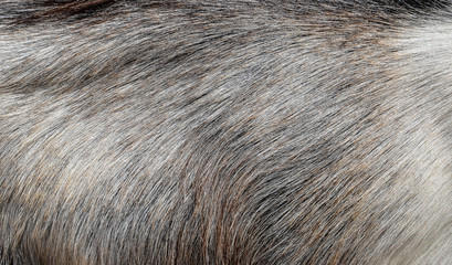 Gray goat fur background
