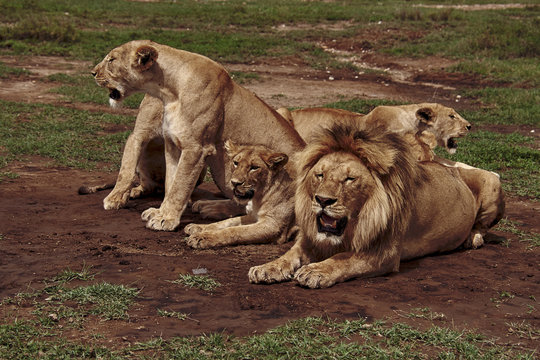the lion family is resting