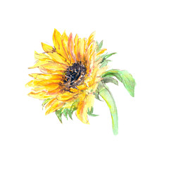 Drawing sunflower. Yellow sunny flowers. Greeting card with sunflower. Watercolor floral illustration.