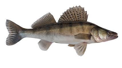 The zander (Sander lucioperca), also known as pike perch