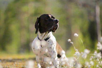 Dog english pointer portrait
