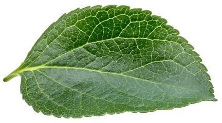 Plum leaves isolated