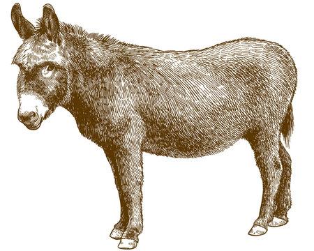 engraving illustration of burro donkey