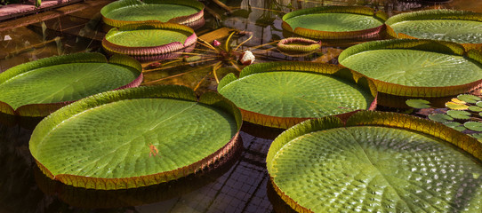 Fotobehang Waterlelies Leaves and blossom of a giant water lily. Botanical Garden University of Karlsruhe, Germany