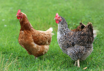 Photo sur Aluminium Poules brown hen looking for food in the farm yard. Chickens. Free Range Cock and Hens