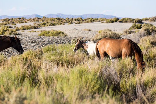 Wild horses grazing next to the Black Rock desert