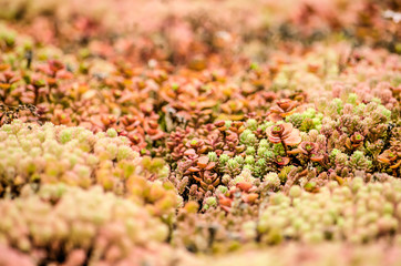 Close-up of a section of a vegetated roof with red, orange, green and pink sedum plants creating a hilly miniature landscape