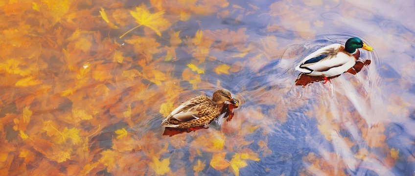 Two mallard ducks on a water in dark pond with floating autumn or fall leaves, top view. Beautiful fall nature background. Autumn october season animal landscape. Vibrant red orange nature colors.