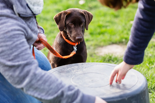 woman with a young labrador dog on a dog training field