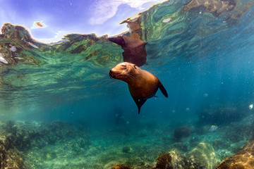 sea lion seal underwater while diving galapagos Wall mural
