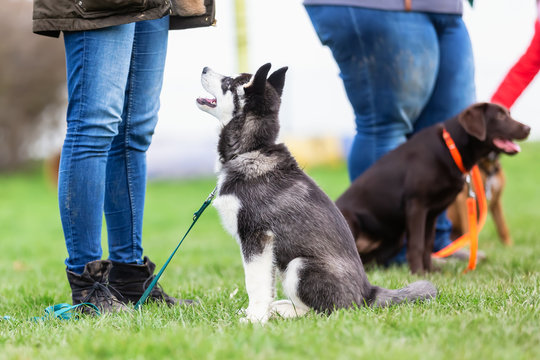 woman with a husky puppy at the puppy school