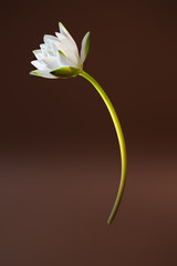 Water lily on brown background