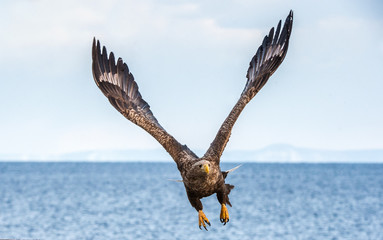 White-tailed sea eagle in flight, spreading wings. Front view.   Scientific name: Haliaeetus albicilla, also known as the ern, erne, gray eagle, Eurasian sea eagle and white-tailed sea-eagle. Fotoväggar