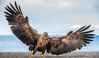 Poster Eagle White-tailed sea eagle spreading wings. Scientific name: Haliaeetus albicilla, also known as the ern, erne, gray eagle, Eurasian sea eagle and white-tailed sea-eagle.