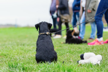 standard schnauzer puppy sitting on the dog training field