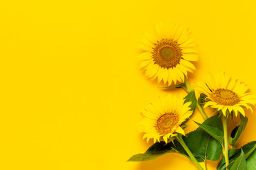 Poster Zonnebloem Beautiful fresh sunflowers with leaves on stalk on bright yellow background. Flat lay, top view, copy space. Autumn or summer Concept, harvest time, agriculture. Sunflower natural background
