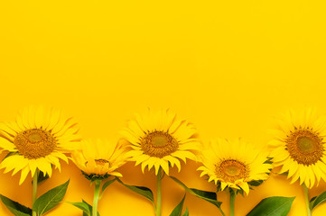 Fotomurales - Beautiful fresh sunflowers with leaves on stalk on bright yellow background. Flat lay, top view, copy space. Autumn or summer Concept, harvest time, agriculture. Sunflower natural background