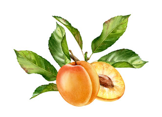 Realistic botanical watercolor illustration apricot fruit leaves composition: whole and half slice ripe juicy isolated clipart hand drawn, fresh exotic food golden yellow green for food label design