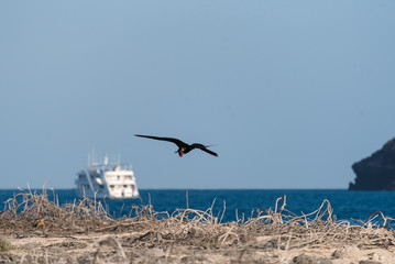 Frigate Bird flying in front of boat, North Seymour, Galapagos Islands, Ecuador, South America.