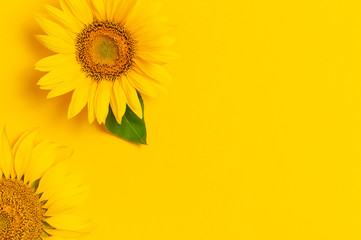 Fotomurales - Beautiful fresh sunflowers on bright yellow background. Flat lay, top view, copy space. Autumn or summer Concept, harvest time, agriculture. Sunflower natural background. Flower card