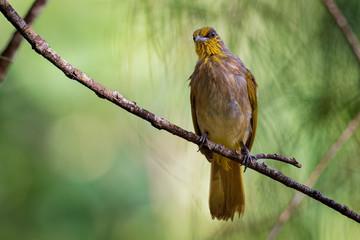 Stripe-throated Bulbul - Pycnonotus finlaysoni or streak-throated bulbul, songbird in the bulbul family, found in south-eastern Asia