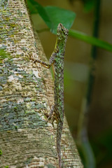 Barred gliding lizard - Draco taeniopterus - Draco is a genus of agamid lizards that are also known as flying lizards, flying dragons or gliding lizards. These lizards are capable of gliding flight
