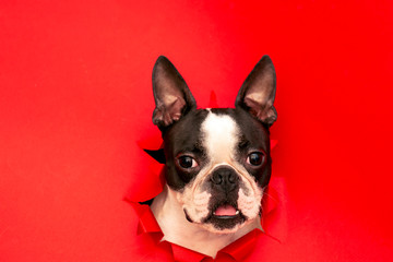 The head of the dog breed Boston Terrier peeking out through a hole in the red paper.Creative. Minimalism. Wall mural
