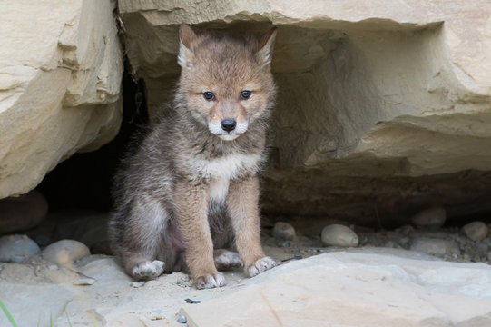 Coyote pups at the den