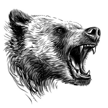 Bear. Sketchy portrait of a angry bear a white background.