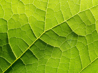 Close up of veins of green leaf