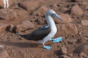 Blue footed booby, North Seymour, Galapagos Island, Ecuador.