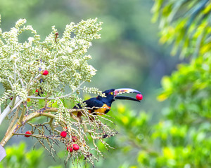 Snack time for toucan