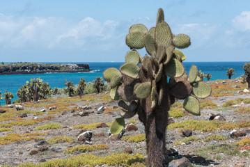 Giant Prickly Pear Cactus (Opuntia echios barringtonensis) on South plaza, Galapagos Islands, Ecuador, South America.