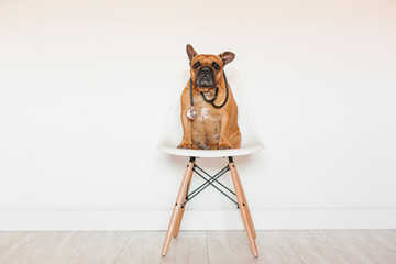 Photo sur Plexiglas Bouledogue français cute brown french bulldog sitting on a chair at home. Wearing a veterinarian stethoscope. Pets care and veterinarian concept